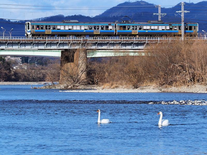 旭川の白鳥1