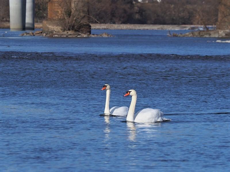 旭川の白鳥5