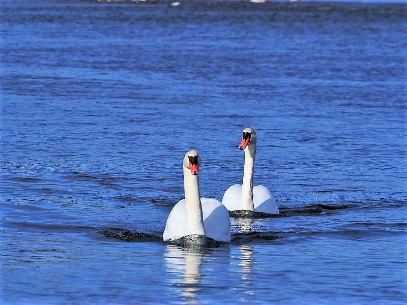 旭川の白鳥6