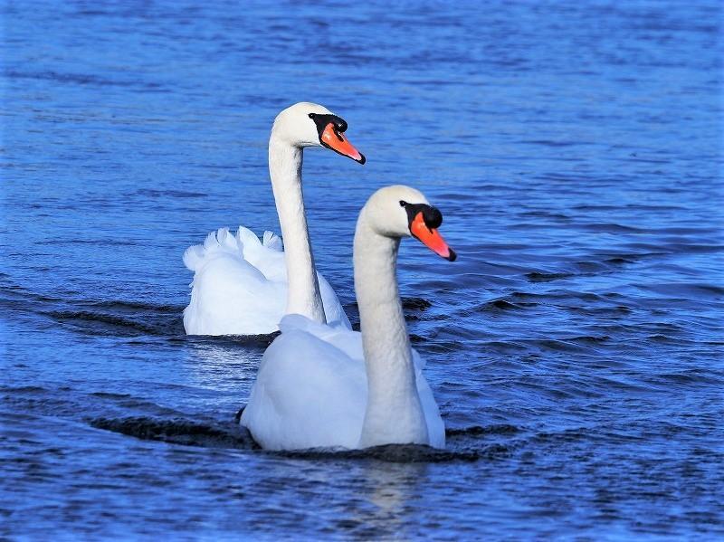 旭川の白鳥7