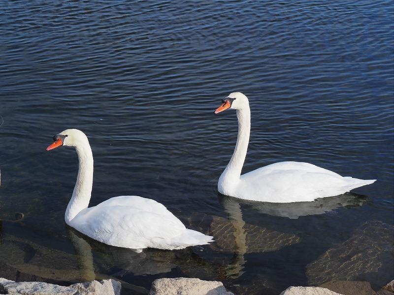 旭川の白鳥8