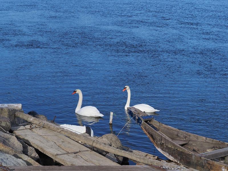 旭川の白鳥12