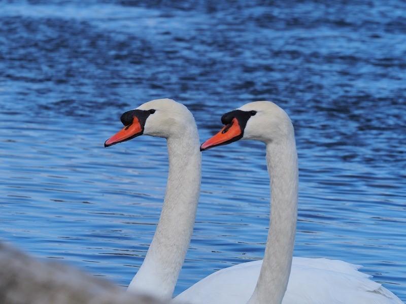 旭川の白鳥13