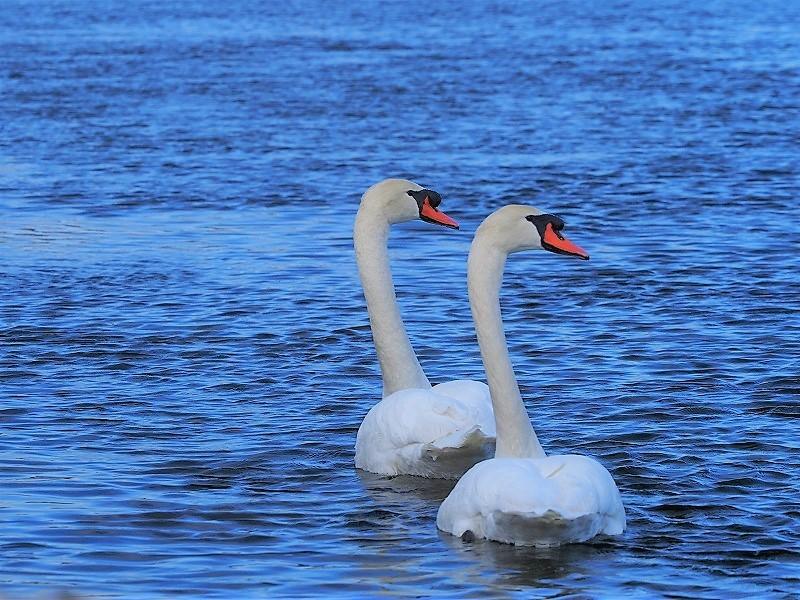 旭川の白鳥15