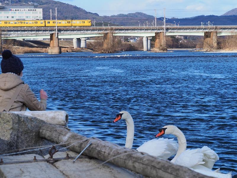 旭川の白鳥14