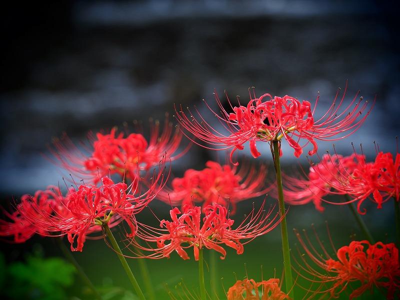 加茂川の彼岸花1