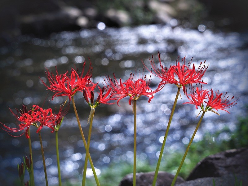 加茂川の彼岸花4