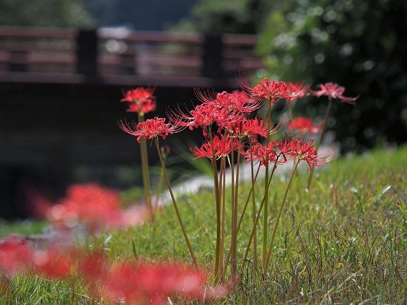 加茂川の彼岸花7