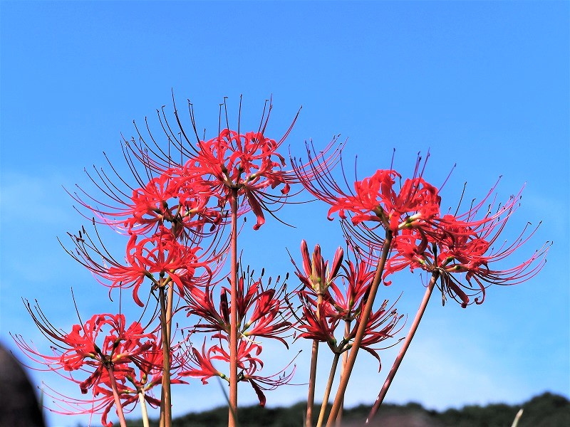加茂川の彼岸花8