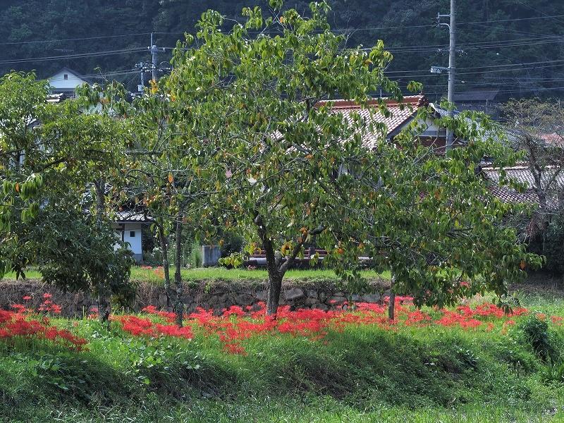 加茂川の彼岸花10