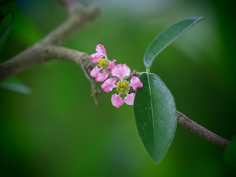アセロラの花1