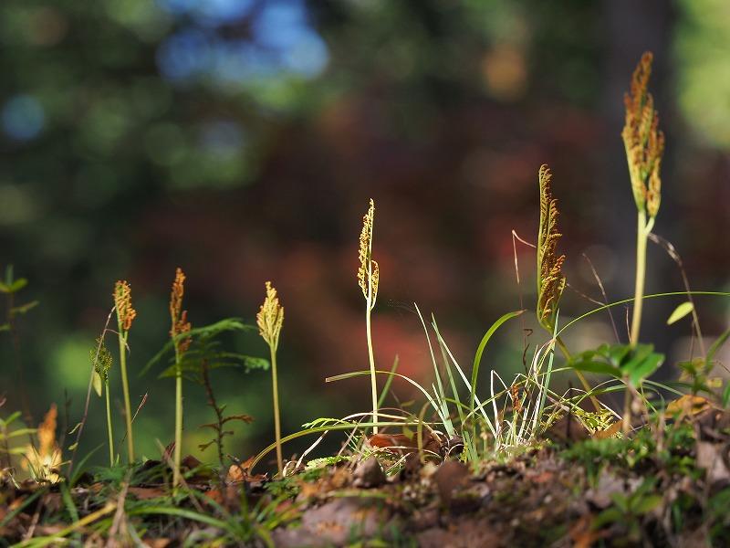 冬の花蕨1