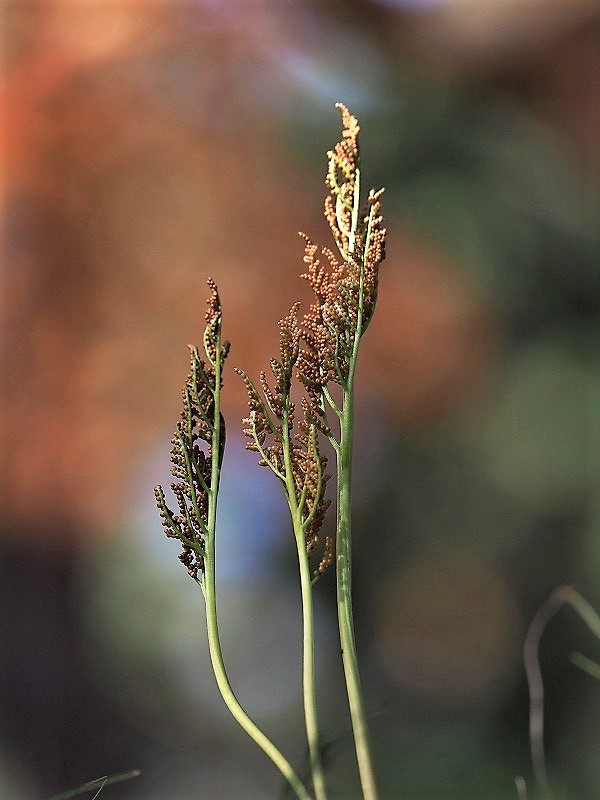 冬の花蕨4t