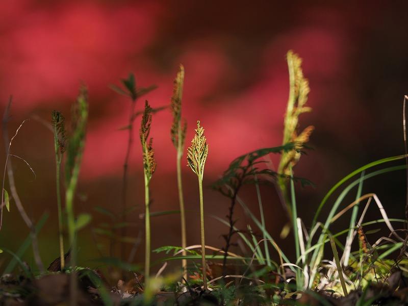 冬の花蕨3