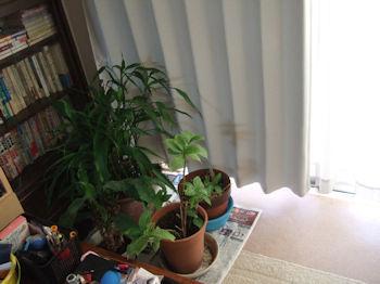 10/29 植木は窓際に