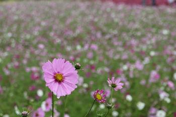10/14  みはらしの丘ふもとのコスモスの花  ひたち海浜公園