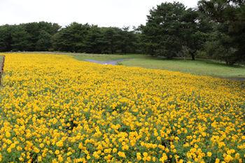 10/14  草原エリアのキバナコスモス  ひたち海浜公園