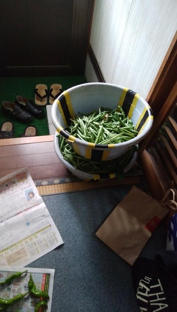三度豆の収穫はめんどくさい