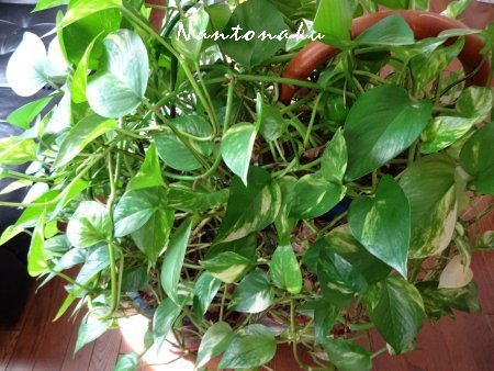 NANTONAKU 実家の観葉植物