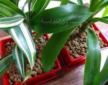 地震で観葉植物をかたつけた日