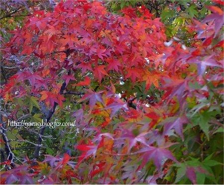 紅葉写真 紫から赤へ 1