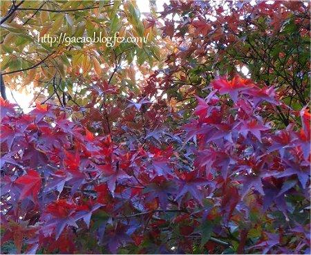 紅葉写真 紫から赤へ 2