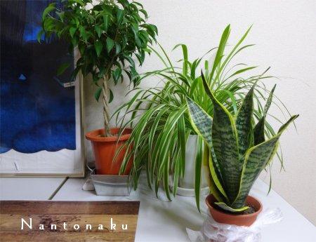 NANTONAKU 空気洗浄効果の高いサンセベリア2
