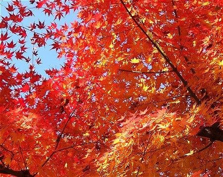 写真が綺麗に撮れなかったけどすごくきれいな黄色の紅葉だったのよ 1