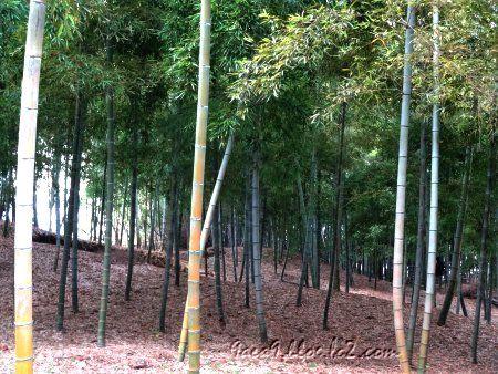 紅葉も終わって枯れ木が増えたケド 竹林は緑を保つ
