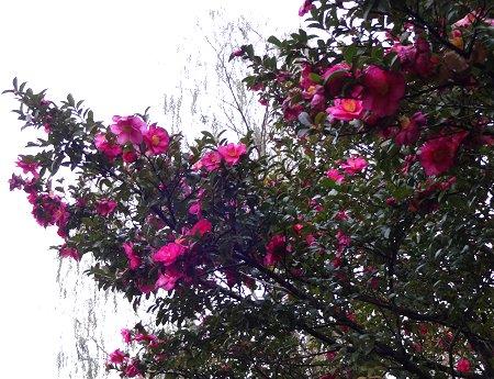 お天気の悪い雨模様の空の中でも 花は良いね