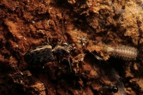 メダカチビカワゴミムシs