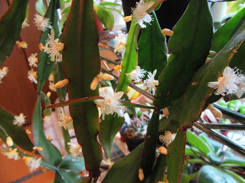リプサリス、緑羽葦 (エルリプティカ )