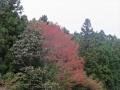 早くも赤く染まる山桜