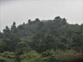 雨の樅林.