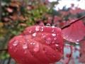 カツラの紅葉