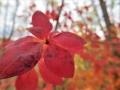 アブラツツジ紅葉