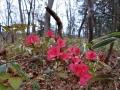 ヤマツツジの不時開花