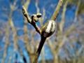 イラガの繭とマンサクの花芽