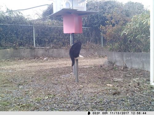 黒しっぽ長