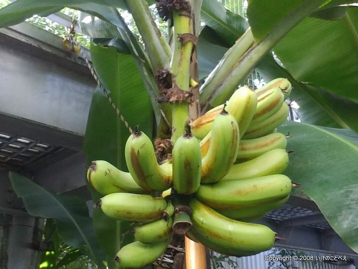 人生初!木で熟したバナナを食べた