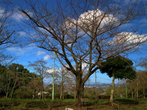 季節外れの日本さくら名所、貸し切り状態な衣笠山公園