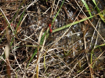 ヒメアカネ産卵 (1)