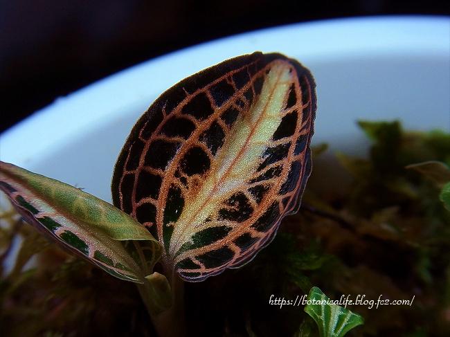 いつもと違う葉が展開してきた ジュエルオーキッド