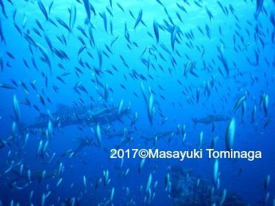 タオ島 ダイビング ジンベエザメ
