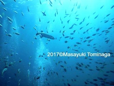 タオ島 ダイビング グレートバラクーダ