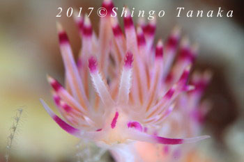 タオ島、セスジミノウミウシ