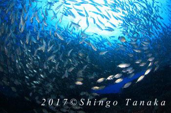 タオ島、チュンポンピナクル、アジ玉