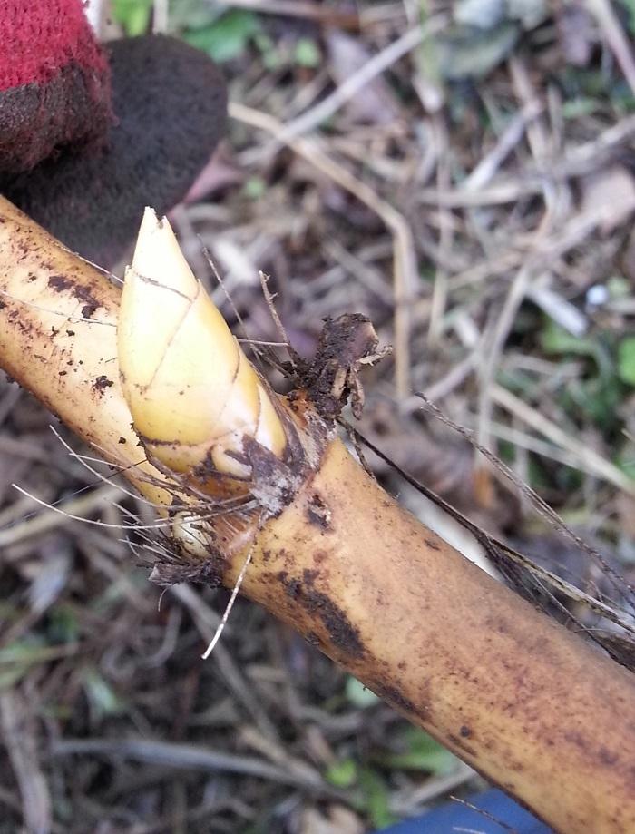 ギンメイチク地下茎2