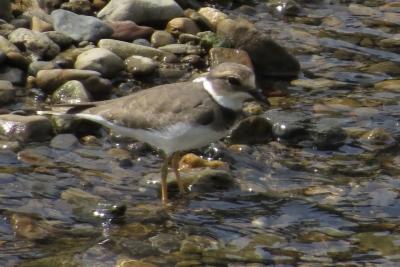 イカルチドリ(幼鳥)1330-1