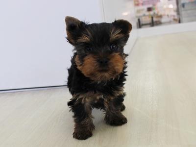 こわんこ日記 最新仔犬情報 仔犬